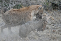 Hyena carrying an elephant's leg in his mouth like it's a Milkbone